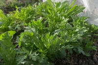 BL180107畑の菜っ葉3IMG_0072
