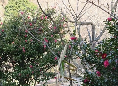 11 山茶花が満開