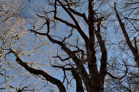 201801021051_155ブナの大木