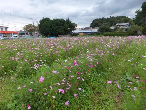 小松コスモス園1
