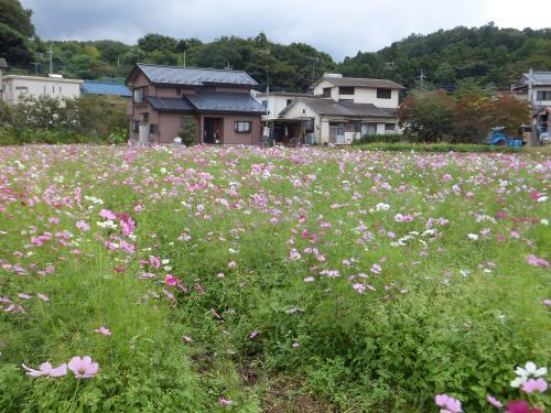 小松コスモス園10