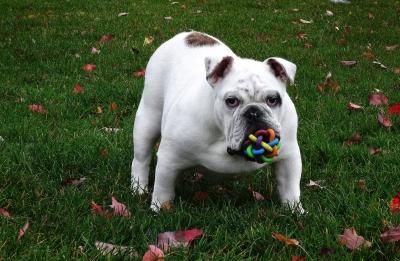 知能 犬 おもちゃ
