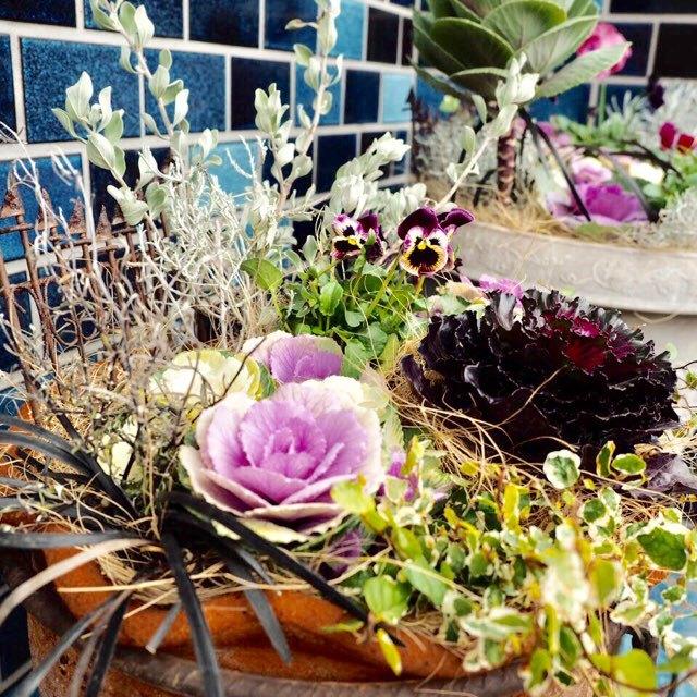 葉牡丹の寄せ植え、ガーデニング