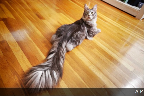 猫のしっぽは43センチ ギネスブックの最新版で