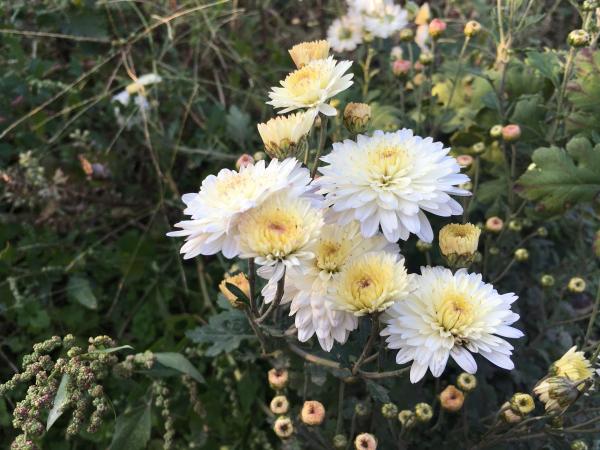 171028 実家の花1