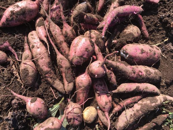 171104  収穫2