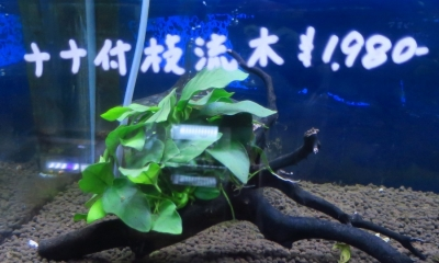 枝流木 アヌビアス・ナナ