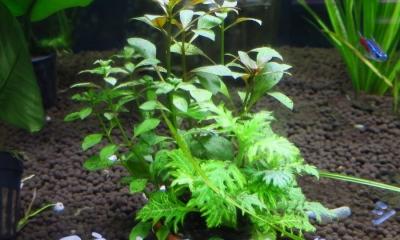 寄せ植え水草3種