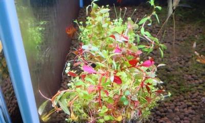 寄せ植え水草 球型小