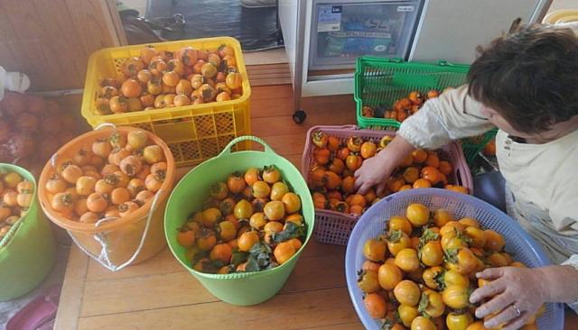 またまた大量の渋柿!