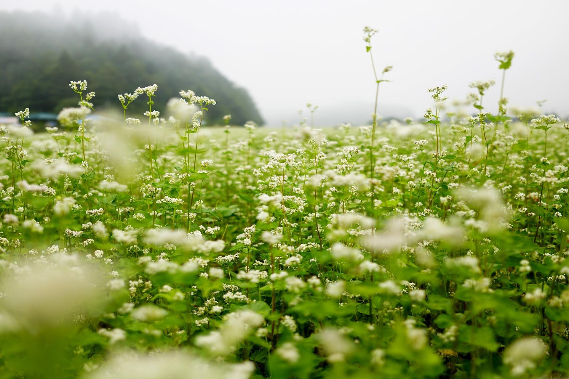 生活_そば畑