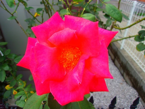 通りすがりに見かけたバラ