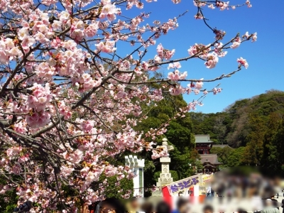 鶴岡八幡宮と桜