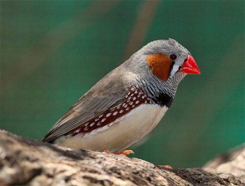 鳥が歌を子孫に伝える脳メカニズム