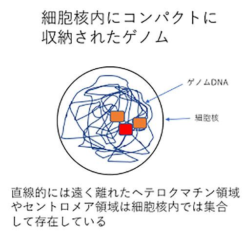 セントロメア領域の立体的配置を解明