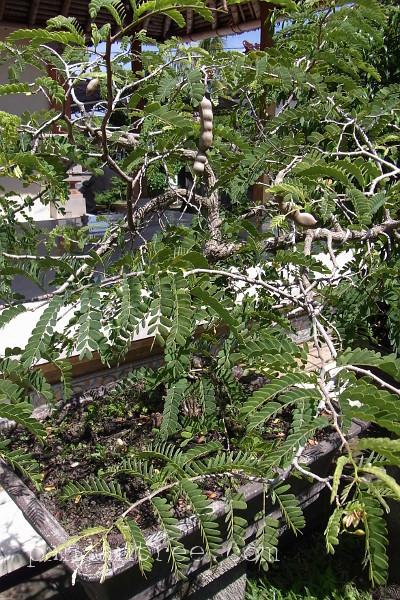 タマリンドの盆栽