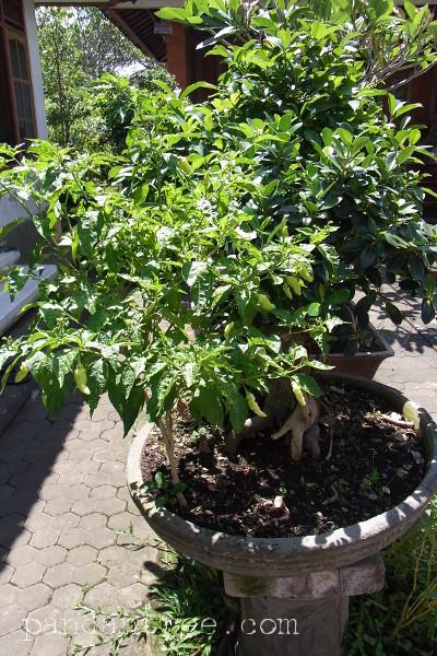 唐辛子の盆栽1