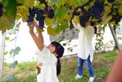 ブドウ収穫1