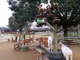 【写真】成田ゆめ牧場のふれんZOO広場にいるヤギたち