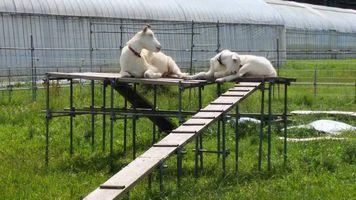 【写真】登り台の上でウトウトするアランとポール