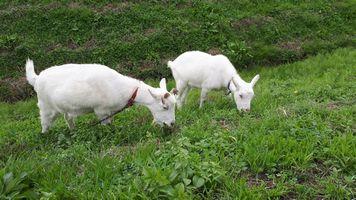 【写真】土手の草を仲良く食べるアランとポール