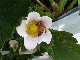 【写真】いちごの花粉を集めるミツバチ