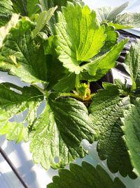 【写真】ヨトウムシがいちごの葉っぱを食べた跡