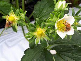 【写真】いちごの花粉を集める2匹のミツバチ