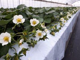 """【写真】白い花が満開の""""やよいひめ""""のハウスの様子"""