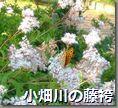 小畑川の藤袴