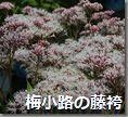 梅小路の藤袴