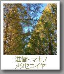 滋賀・マキノ メタセコイア