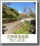 滋賀県高島郡カリンの木g