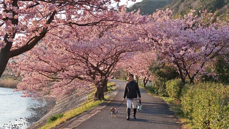 0220170216南の桜 (800x449)