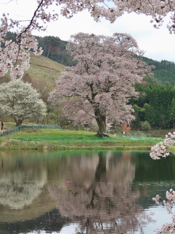 0320170425千鳥別尺山桜 (600x800)