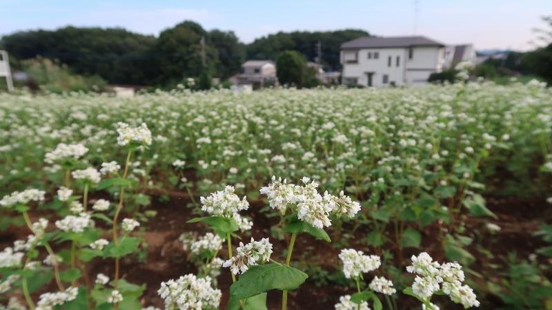 東京の蕎麦畑02 (800x449)