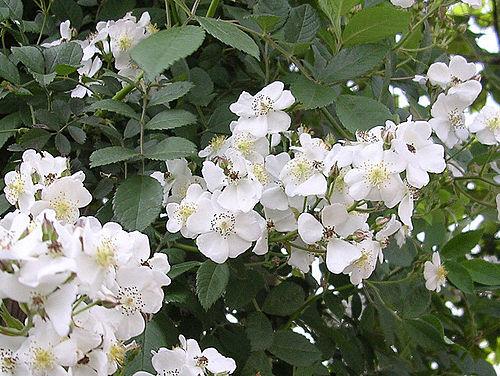 ノイバラ Rosa_multiflora