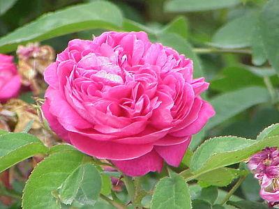 Rosa_damascena.jpg