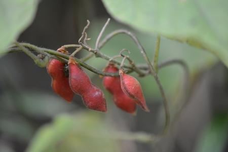トキリマメ(豆果)