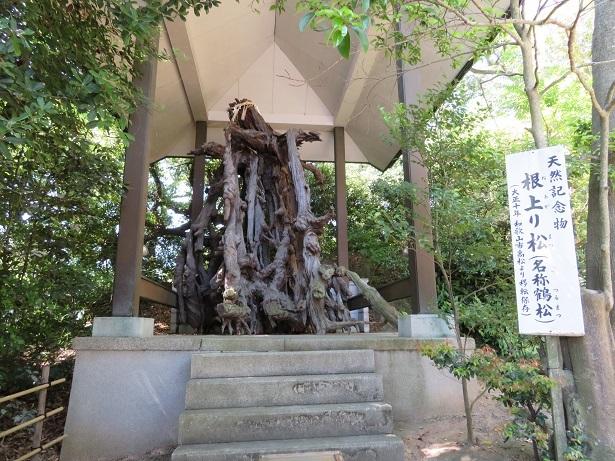 玉津島神社 根上り松