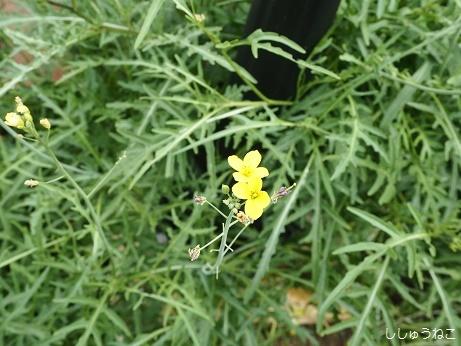 セルバチコ花