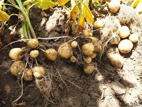 ジャガイモ収穫キタアカリ