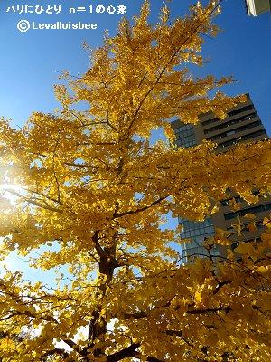 逆光に映える黄葉のイチョウdownsize