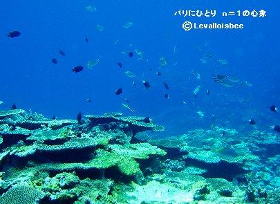 サンゴの先中層の魚たち石垣ダイブdownsize