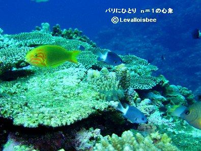 サンゴ礁のベラとシコクスズメダイREVdownsize