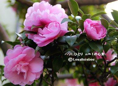 群れて咲くピンクのサザンカdownsize