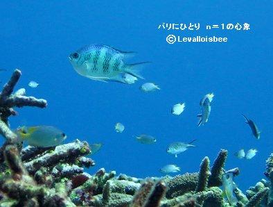 石垣の海サンゴ礁のロクセンスズメダイdownsize