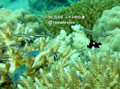 石垣の海サンゴ礁の稚魚たちdownsize