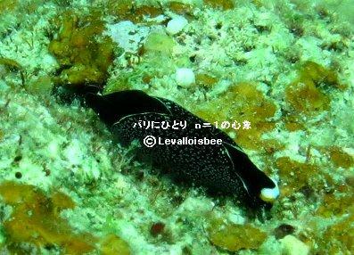 石垣の海のウミウシその7REVdownsize