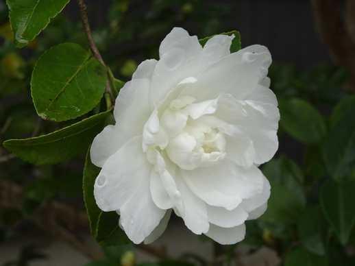 20181216 白い山茶花